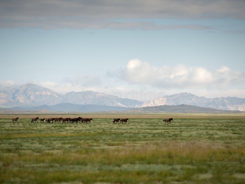 吃草在干草原,蒙古的马牧群  图库摄影