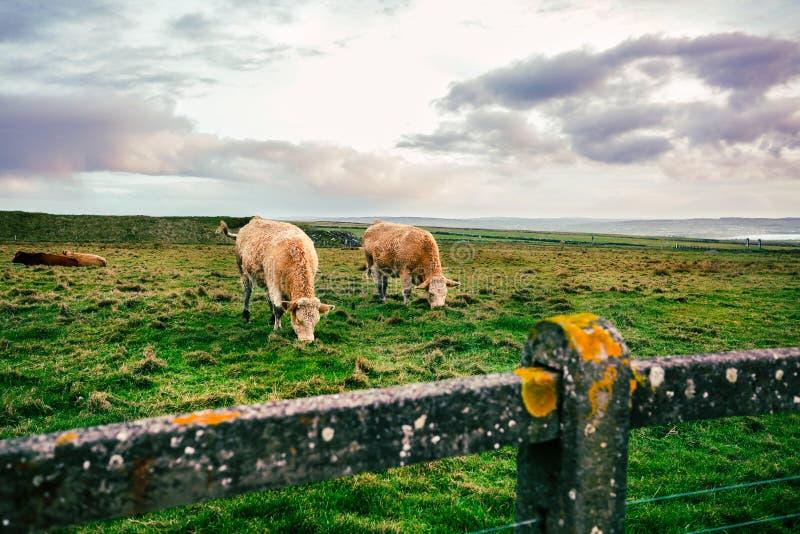 吃草在绿色草甸的爱尔兰母牛 免版税库存照片