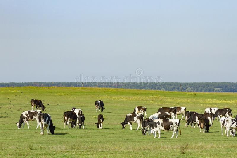 吃草在草一个豪华的绿色牧场地的幼小母牛和小牝牛牧群在一美好的好日子 在a的黑白母牛 库存图片