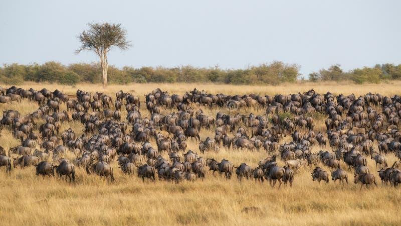 吃草在马塞人玛拉,肯尼亚的大角马牧群 图库摄影