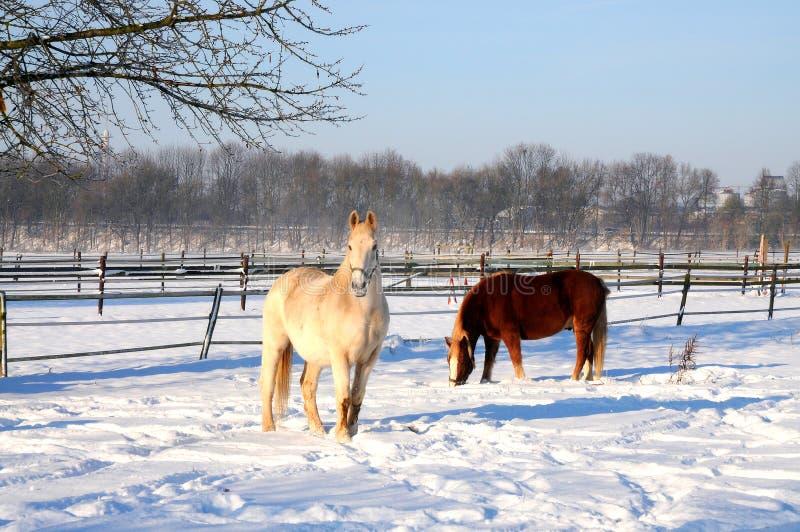 吃草在雪的两匹马 免版税库存图片