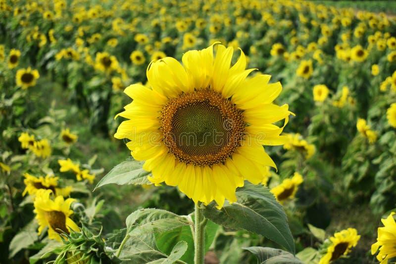 向日葵的黄色领域 开花和授粉 向日葵油农业产业  土壤受精和丰富的harve 库存图片