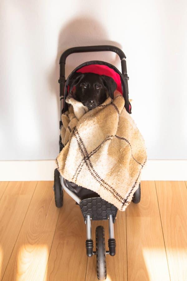 坐在婴孩玩具婴儿推车的拉布拉多小狗 免版税库存图片