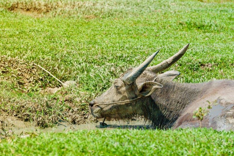 坐在沼泽的水中的泰国水牛 免版税图库摄影