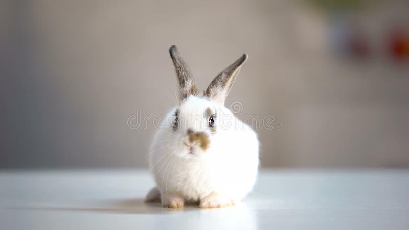 坐在狩医诊所桌、动物接种和关心上的可爱的白色兔宝宝 库存照片