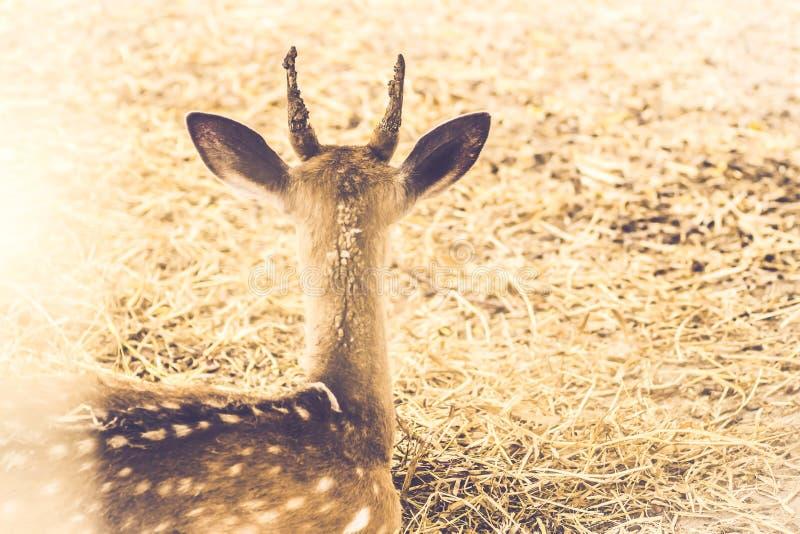坐在领域的马鹿雄鹿在forestsepia葡萄酒口气边缘  野生生物自然背景 库存图片
