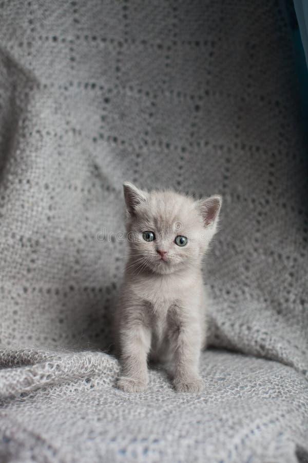 坐和看照相机的苏格兰平直的小猫 灰色平直有耳的猫 库存图片