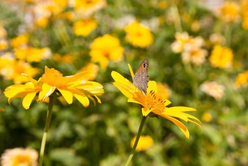 夏天开花在草甸的春黄菊开花 免版税库存图片