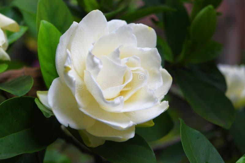 å¤§å  ¶æ€å  ï ¼ ŒGardenia jasminoides Ellis VAR grandiflora Nakai στοκ φωτογραφία με δικαίωμα ελεύθερης χρήσης