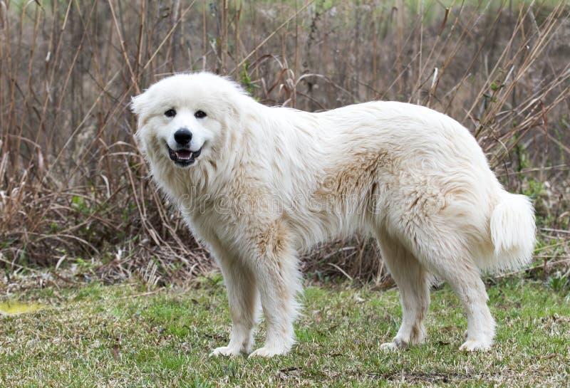 大比利牛斯农厂狗外面 库存图片