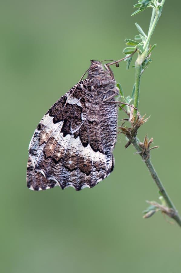 大蝴蝶Laminitis populi 库存图片