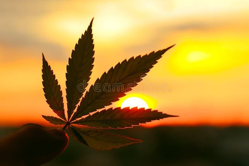 大麻叶子,背景影像 大麻植物和大麻主题的照片在日出 优质产品CBD - Cannabidiol 图库摄影