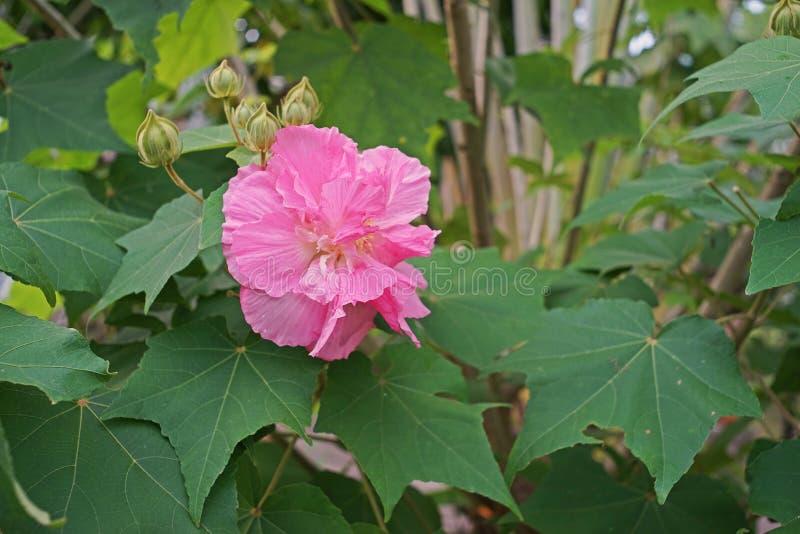 多变的玫瑰,花是白色的在早上和转动桃红色和红色在晚上的开花植物 免版税库存照片