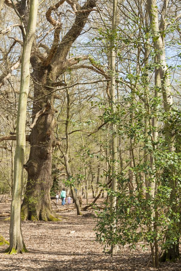 妈妈和两个孩子通过森林在春天走 库存图片