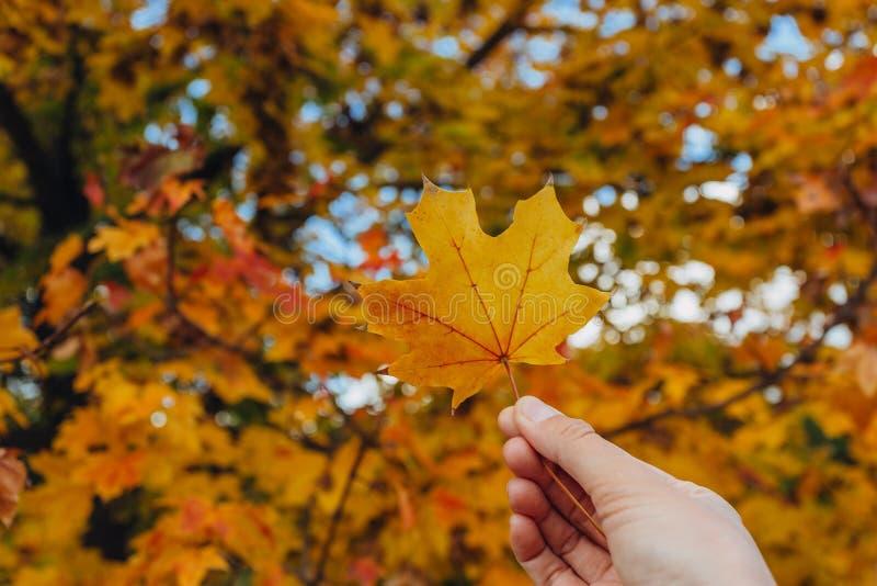 妇女手拿着在秋天黄色晴朗的背景的黄色枫叶 免版税库存照片