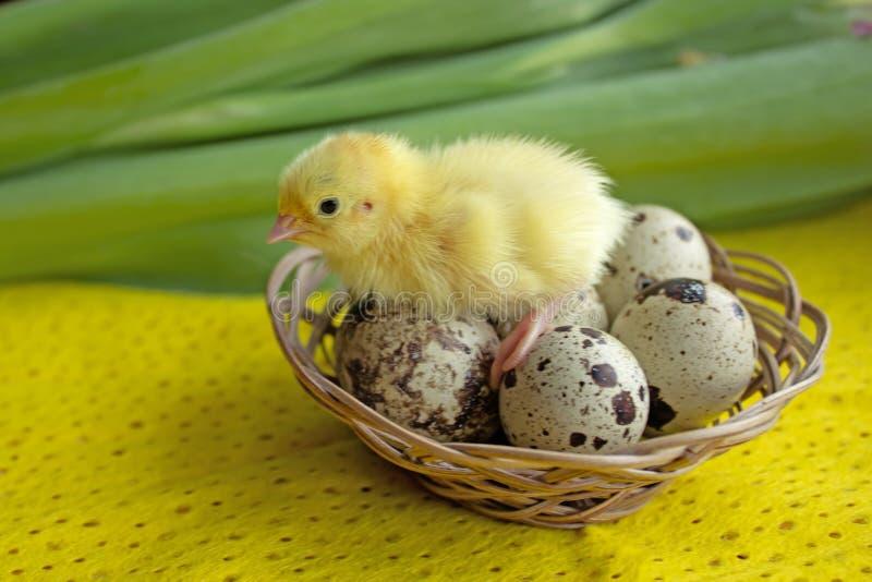 婴孩鹌鹑坐在篮子的鸡蛋 复活节 新的生活的诞生的概念 免版税图库摄影