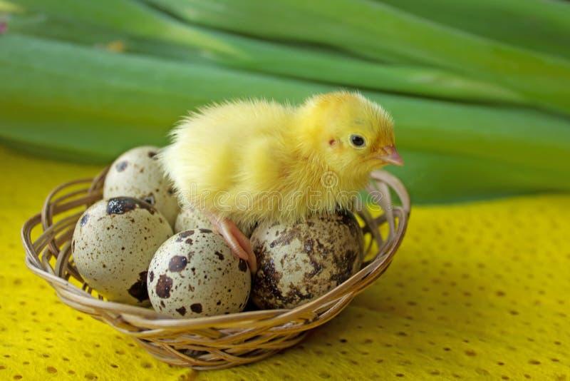 婴孩鹌鹑坐在篮子的鸡蛋 复活节 新的生活的诞生的概念 库存照片