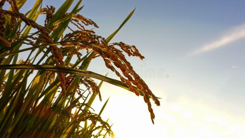 稻子 stock photos