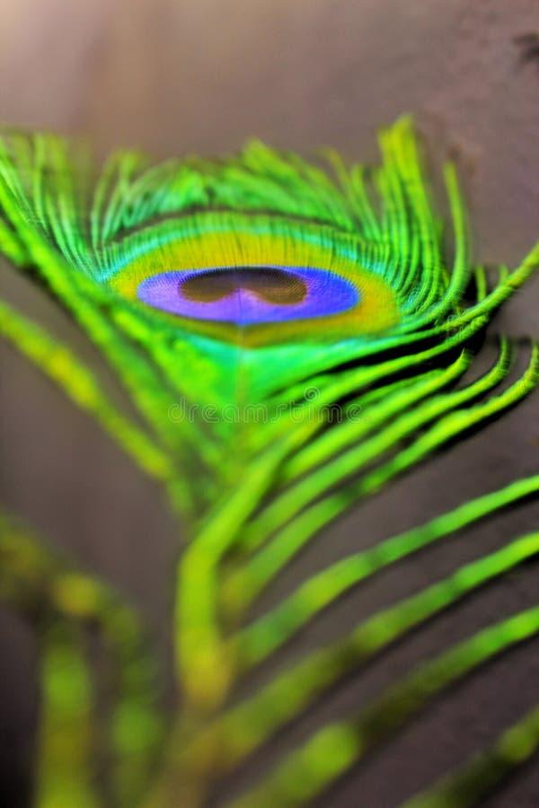 孔雀羽毛,鸟的美丽的羽毛细节  库存图片