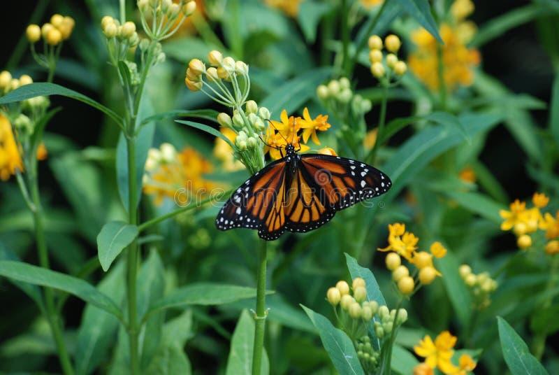 守护天使-哺养在黄色花的黑脉金斑蝶 库存照片