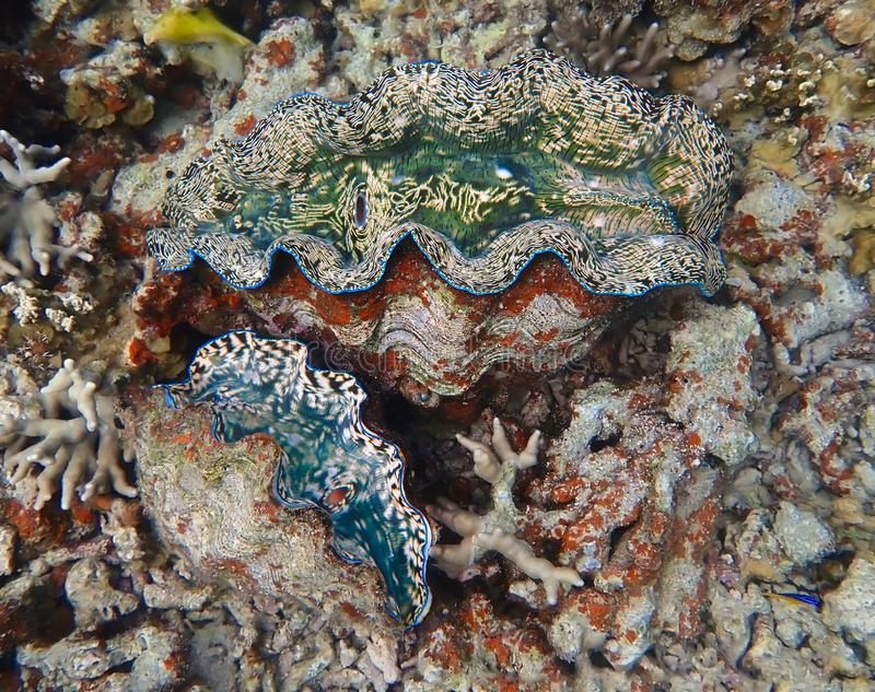 对在珊瑚礁的巨型蛤蜊与明亮的颜色和纹理 免版税库存照片
