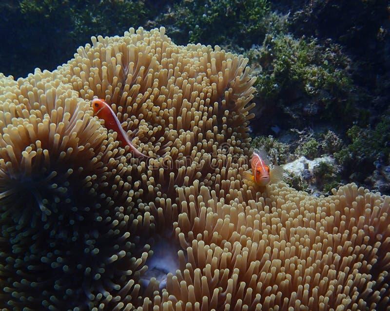 对明亮的橙色anemonefish或clownfish在银莲花属水中 库存图片