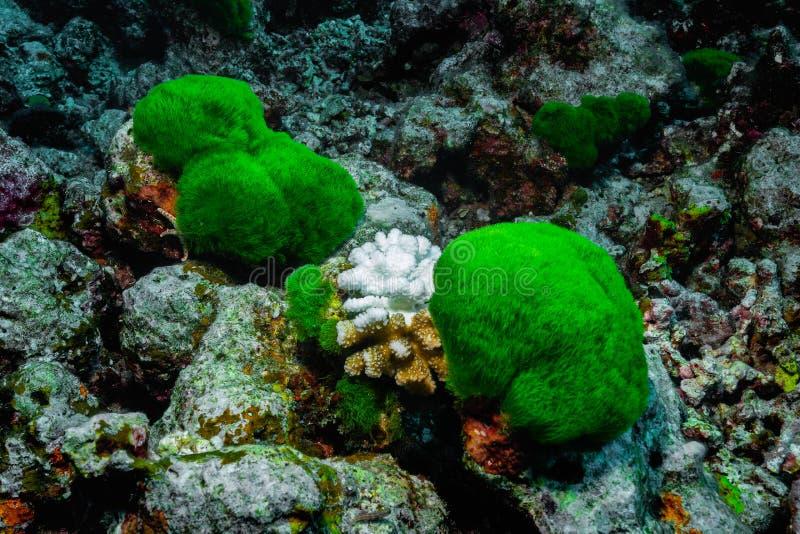 对鹿角珊瑚属的亦称珊瑚漂白的作用 Staghorn珊瑚 库存照片