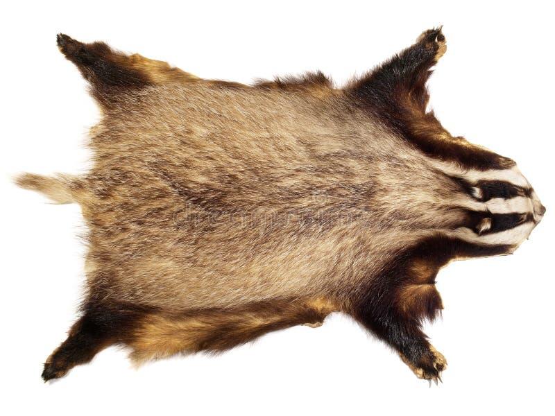 寻找战利品-獾 图库摄影