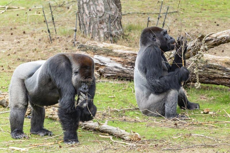 寻找食物的一些小块在地面上的对韦斯特低地大猩猩大猩猩大猩猩大猩猩 免版税库存图片
