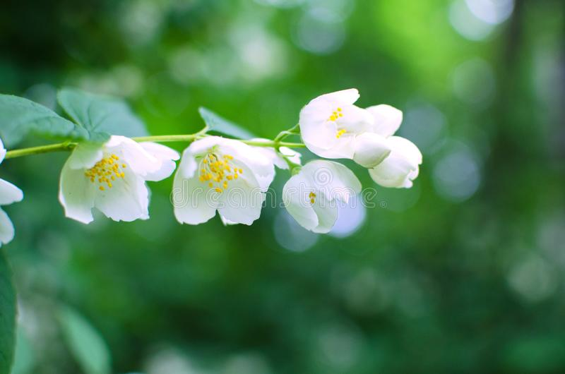富有的开花的白色山梅花关闭 免版税图库摄影