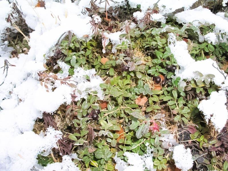 寒带草原植物、草和花在Chukotka 免版税库存照片