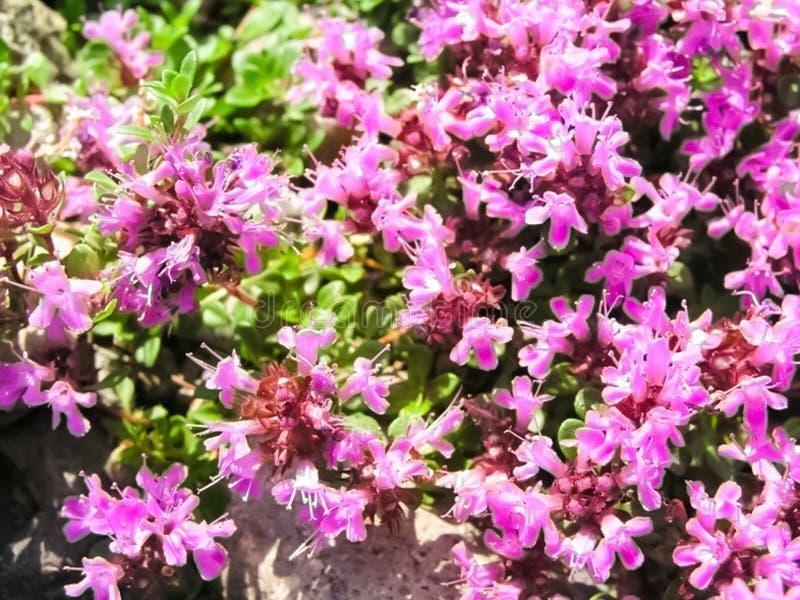 寒带草原植物、草和花在Chukotka 免版税库存图片