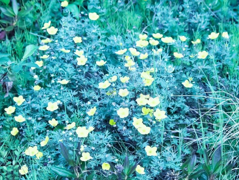 寒带草原植物、草和花在Chukotka 免版税图库摄影