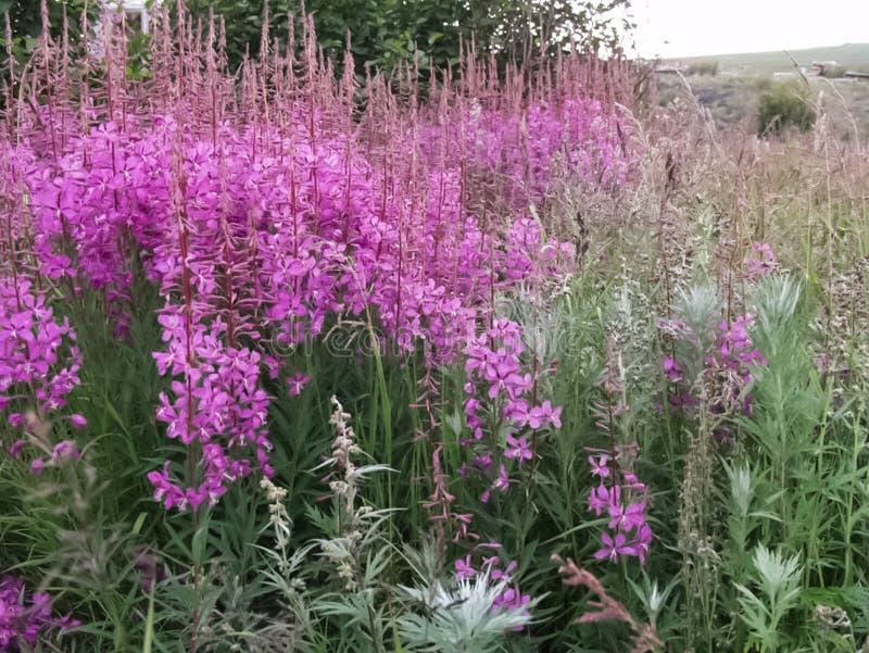 寒带草原植物、草和花在Chukotka 库存图片