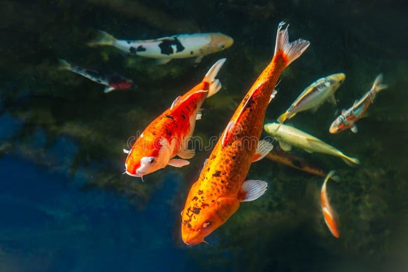 小井游泳在池塘的鲤鱼鱼的选择 有两大金黄和黑一个然后银,黄色和黑的 免版税库存照片