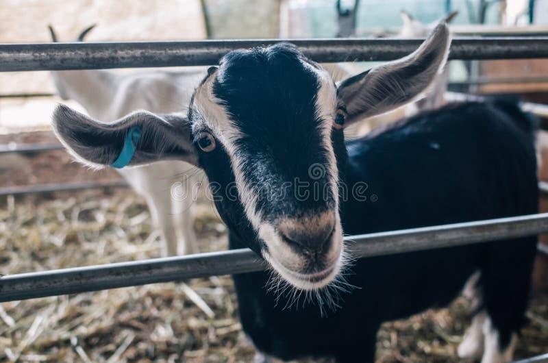小山羊在农场 库存图片