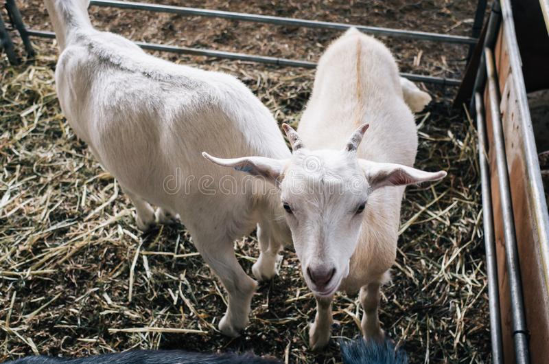 小山羊在农场 免版税图库摄影