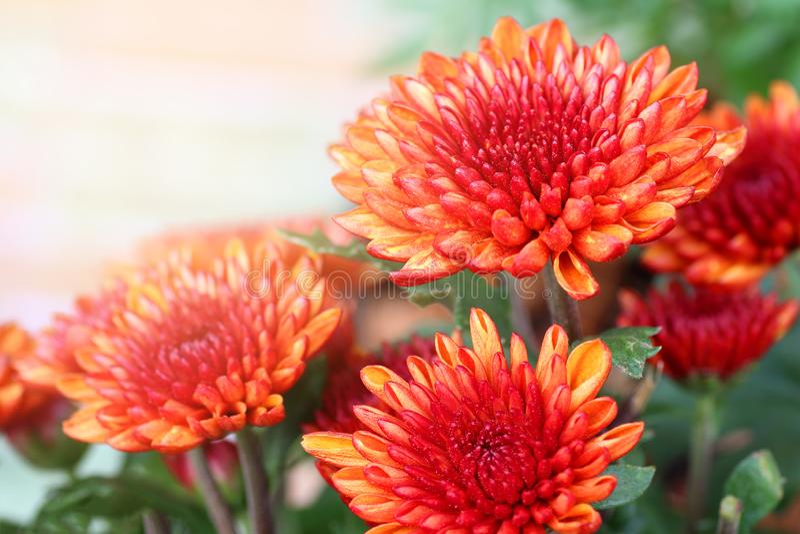 小橙色菊花花 库存图片