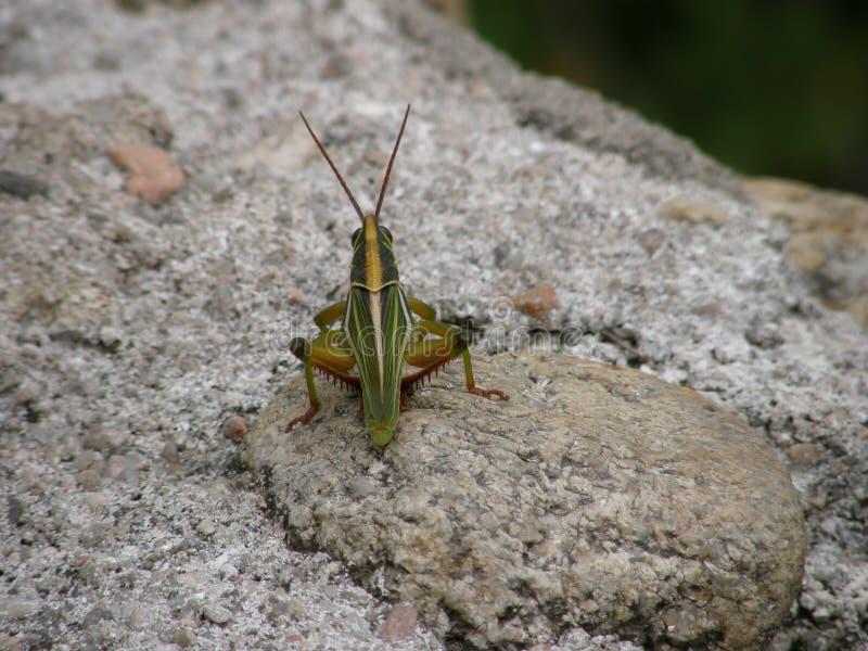 小绿色蟋蟀 免版税库存图片