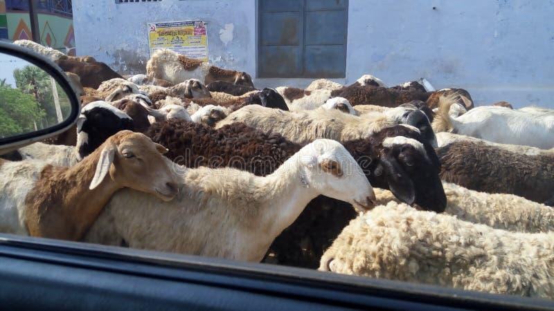 小组在国家边的山羊 免版税库存图片