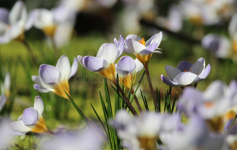 小组被日光照射了白色番红花在春天 库存图片