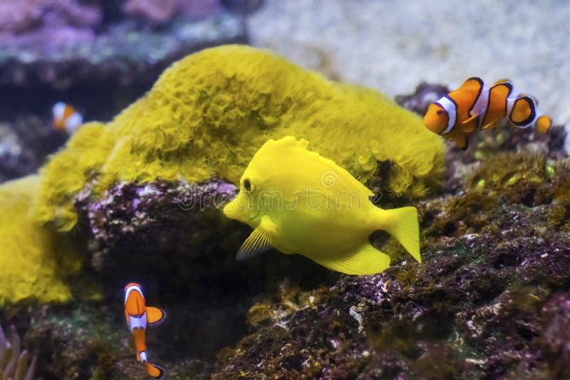 小组ocellaris clownfish双锯鱼ocellaris在太平洋中热带水  库存照片