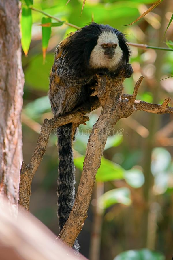 小猿,哺乳动物,画象,动物,猴子 图库摄影