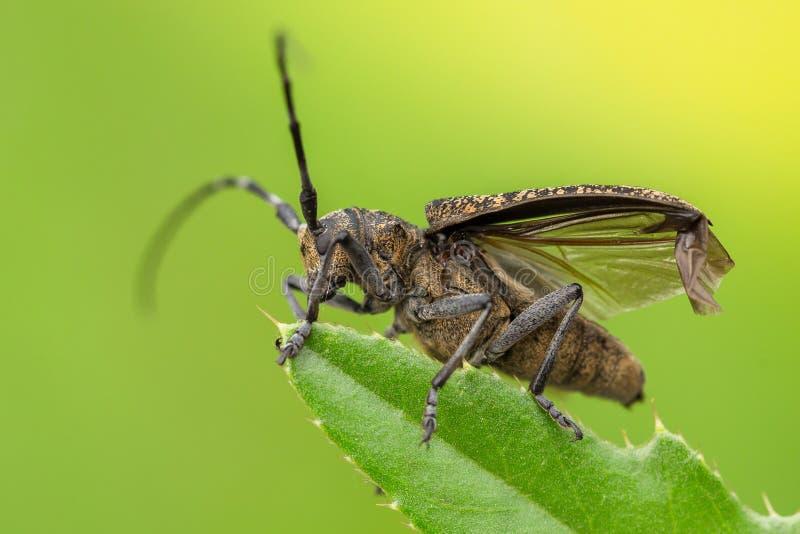 小白的marmorated长有角的甲虫Monochamus sutor在捷克 图库摄影