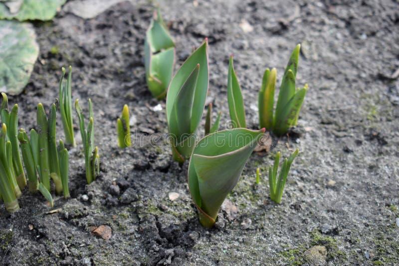 小生长郁金香在春天 新芽种子植物花 库存照片