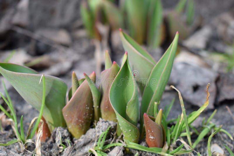 小生长郁金香在春天 新芽种子植物花 库存图片