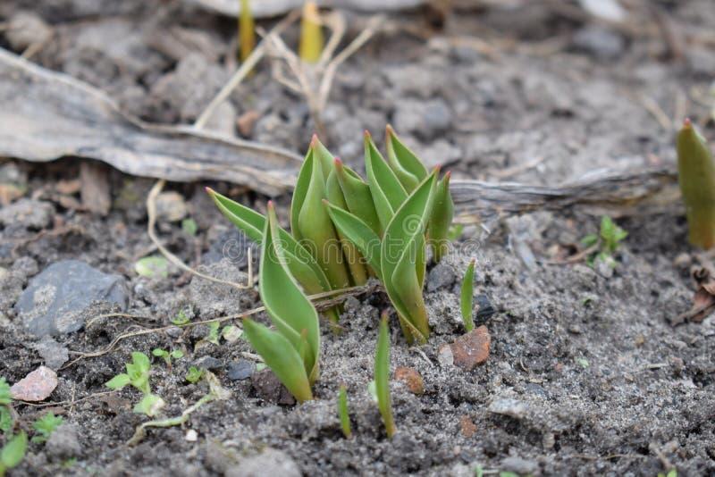 小生长郁金香在春天 新芽种子植物花 免版税库存照片
