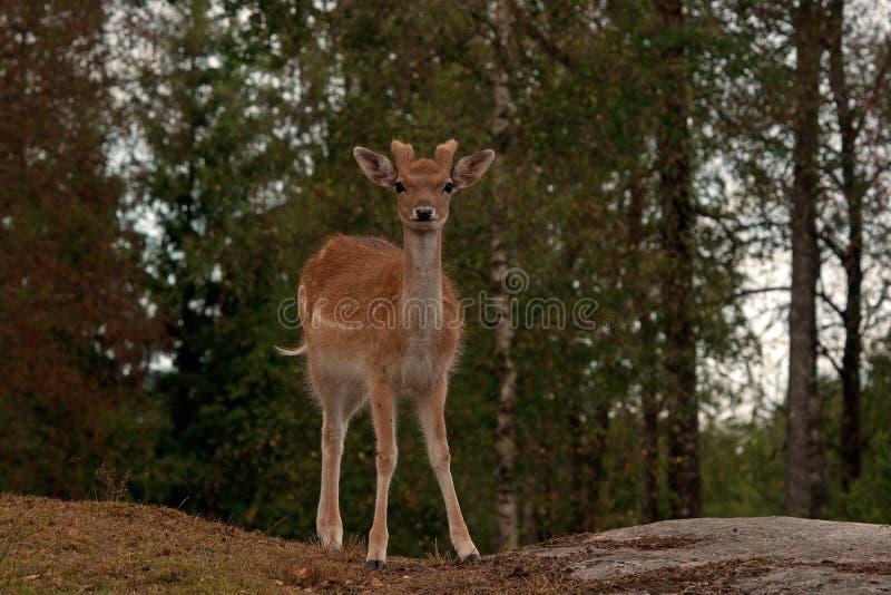 小鹿幼小1年小鹿,在一个森林里在瑞典 免版税图库摄影