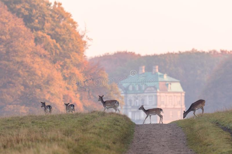 小鹿,黄鹿穿过土路的黄鹿、女性和小鹿在Dyrehave,丹麦 在焦点外面的偏僻寺院宫殿 库存图片