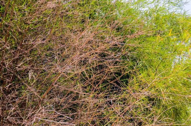 射击的竹干叶子关闭 免版税库存照片